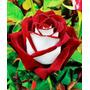 Sementes De Rosa Osiria Mix ( Sortidas) 5 Cores 20 Semen..