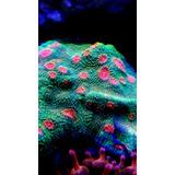Coral Chalice Bubble Gum Monster Frag Corales