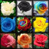 200 Sementes De Rosa Cores Variadas E Raras Arco-íris Negra!