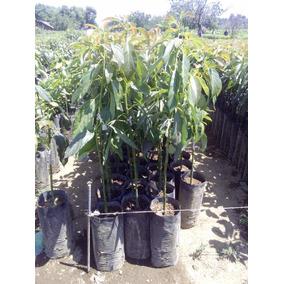 Planta De Aguacate (hass-mendez)
