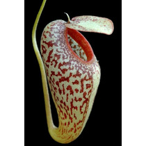 Sementes Planta Carnivora Nepenthes Aristolochioides P/ Muda
