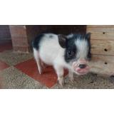 Mini Pigs Bebés Macho Y Hembra (minipig) Cerditos Miniatura