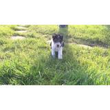 Cachorros Fox Terrier Pelo Alambre
