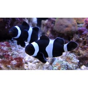 Amphiprion Ocellaris Black (peixe Palhaço) 4 A 5cm
