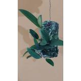 Tronco De Ipê Para Plantio De Orquídeas D 8 Cm X C 20cm
