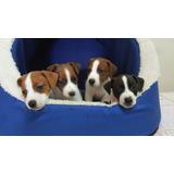 Auténticos Cachorros Jack Russell Criadero Juaquinmdc