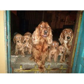 Últimos Cachorros Cocker Spaniel Inglés Dorados 100% Puros