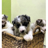 Border Collie Blue Y Red Merle