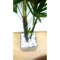 Palmeira Raphis 3 Hastes No Vaso De Vidro E Rodinhas