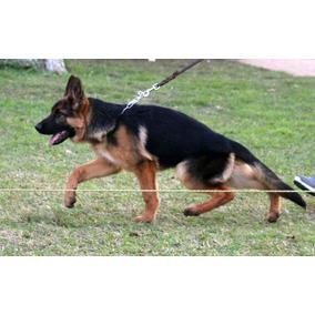 Hermosos Cachorros Ovejero Alemán - Pedigree Poa