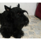 Scottish Terrier Hermosos Cachorros Envio Gratis