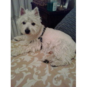 Servicio De Cruza De Westy ( West Highland White Terrier)