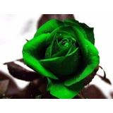 100 Sementes De Rosas Verde Raras Exóticas Pra Fazer Mudas