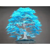 Sementes De Árvores Bonsai Bordo Azul 5 Sementes Raras