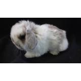 Hermosos Conejos Belier Enano (holland Lop) Puros