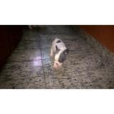 Filhote Fêmea De Bulldog Francês Blue Pied