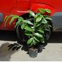 Plantas Orgánicas De Graviola - Guanábana - Cañuelas