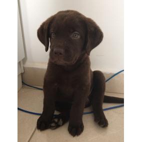 Labrador Fêmea Chocolate
