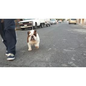 Bulldog Ingles Semental Europeo Calidad De Exposicion