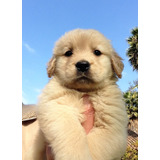 Golden Retriver Cachorros Inscritos Kcc