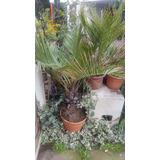 Se Venden Palmas Chilenas (jubaea Chilensis)
