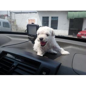 Vendo Filhote De Poodle Micro Toy Fêmea Zinha Linda Branca E