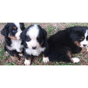 Bernese Mountain Dog Excelentes Filhotes