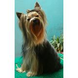 Yorkshire Terrier Macho Pedigree Servicio De Monta