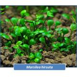 Marsilea Hirsuta Planta Acuatica Peces