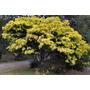 Sementes Acacia Fimbriata Cassia Lindas Flores Árvore Mudas