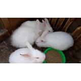 Lindos Conejos Tipo Angora