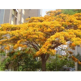 Sementes Flamboyant Amarelo Delonix Regia Bonsai P/ Mudas