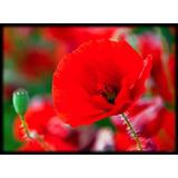 Semillas De Amapola Roja