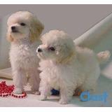 Cachorra Miniatura