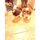 Vendo Hermosos Cachorros Shih Tzu Valparaiso
