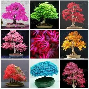 100 Sementes Raras Mix Acer Maple Lilas Bonsai Gramas Jd Dc