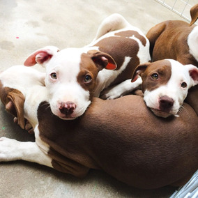 Filhote American Pitbull Terrier
