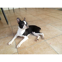 Boston Terrier Con Fca - Servicio De Monta!