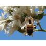 Assa Peixe Branco 250 Sementes / Abelhas / Néctar