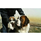 Vendo Venta Cachorros San Bernardo Puros 100 % Raza Gigante