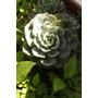 Planta Suculenta, Ideal Para Regalo!con Tarjeta Y Envoltorio