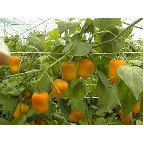 Planta De Chile Manzano