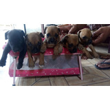 Cachorros Fusion Desparasitados De Un Mes