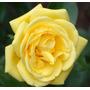 Yellow Rose (10 Semillas)