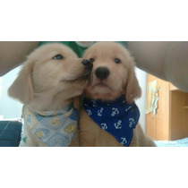 Ultimo Filhote De Golden Retriever