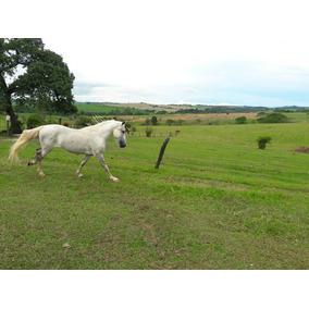 Cavalo Mangalarga Marchador - Tordilho - Registrado