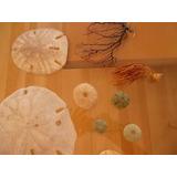 Corales Marinos + Erisos Marinos Naturales Y Caracoles