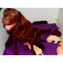 Cachorros De Labrador Chocolate Criadero Calquin