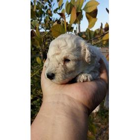 Hermosos Cachorros Caniches Mini Toy Hembras Y Machos