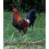 Gallos Finos Garantizados Distintas Razas
